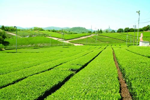 Fujigochi Tea Plantation