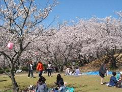 战场平原公园/樱花