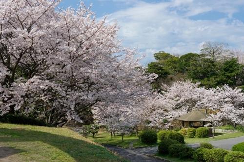 常盤公園櫻花節
