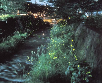 Ichinosaka River Japanese Firefly Spots/ Hotaru