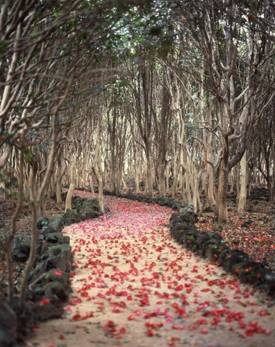 Hagi, camellia Festival
