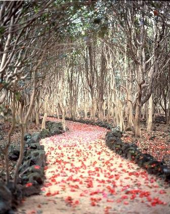 카사야마 산 동백나무 군락지