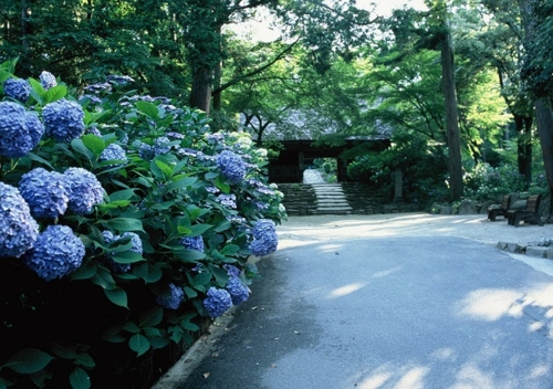 Hydrangea Festival (18th memorial services for flowers)