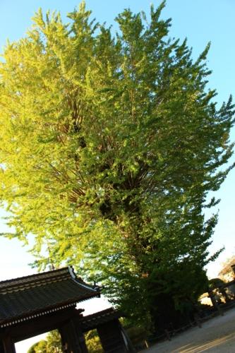 ต้นแปะก๊วยของเทะนโทะคุจิ