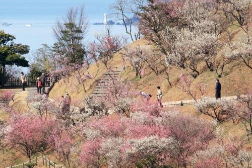 칸무리야마 종합공원 매화축제