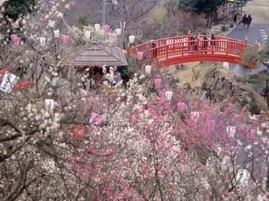 Village / Plum of the Kanmuriyama Park plum