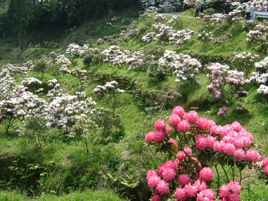 Tawarayama Rhododerndron garden / Rhododerndron