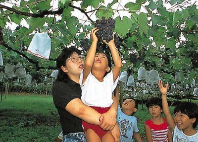 美人觀光葡萄園/葡萄