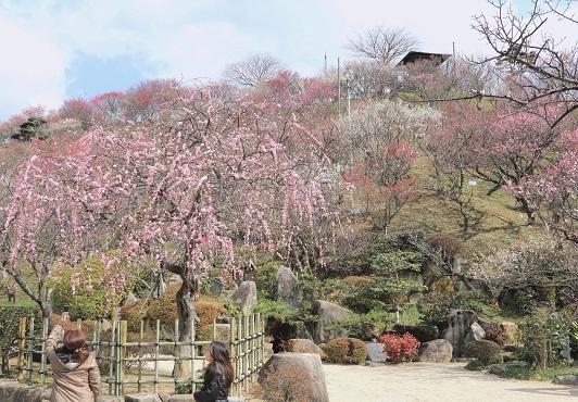 2. Kanmuriyama Park Plum Blossom Festival