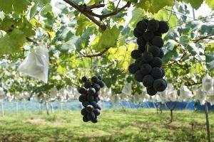 Nii Sightseeing Vineyard